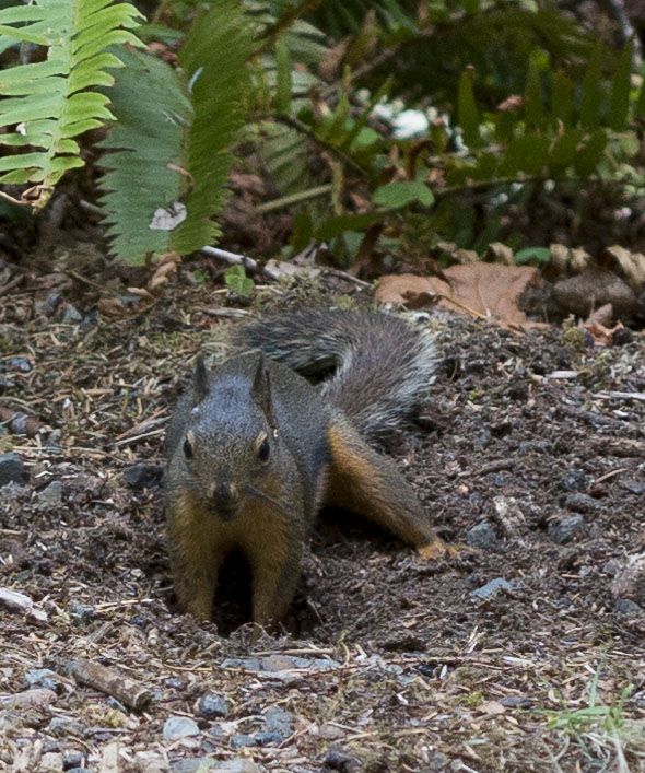 squirrel digging